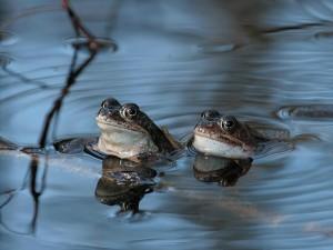 Nu damm för grodorna i Älvsjöskogen