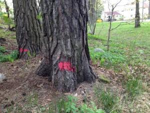 Träd som kommer att fällas vid ICA.